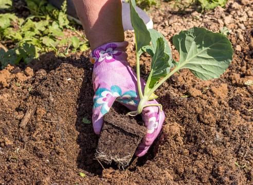 Чтобы получить хороший урожай, важно знать, как осуществляется посадка капусты в 2019 году