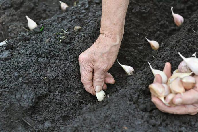 Наиболее подходящим для осеннего посева считается чеснок