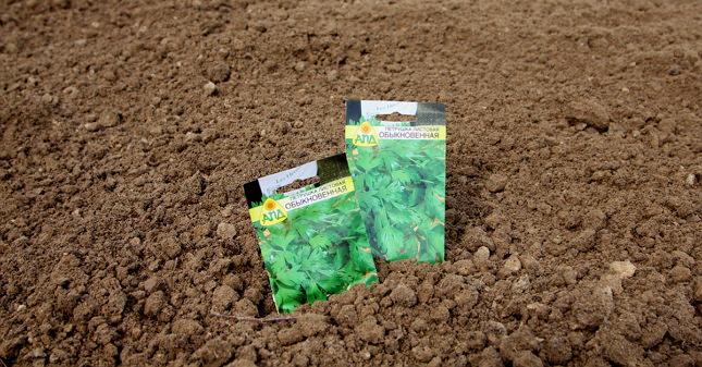 Зонтичные культуры, семена которых содержат много эфирных масел, сеют раньше, когда почва чуть прихватится морозами