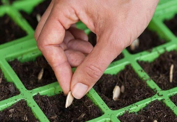 На рассаду сеять семена кабачков можно с февраля по май