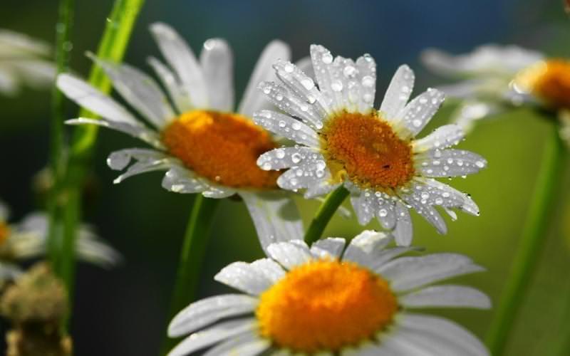 Садовая ромашка довольно крупное растение, любящее влагу, поэтому поливы должны быть регулярными и обильными
