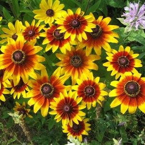 Рудбекия — однолетнее, двулетнее и многолетнее травянистое растение