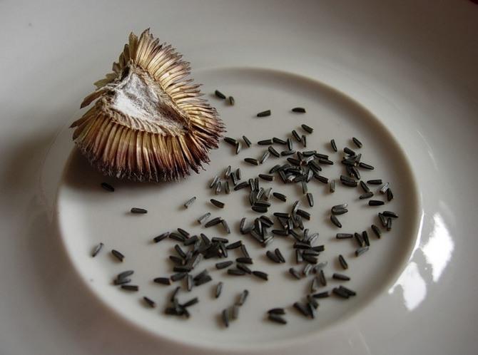 Весь семенной материал рудбекии практически не нуждается в предварительной подготовке