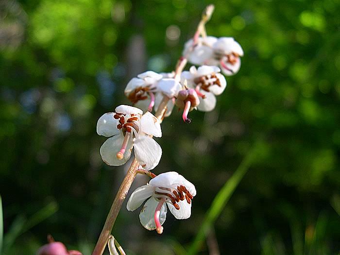 Цветение грушанки приходится на летний период