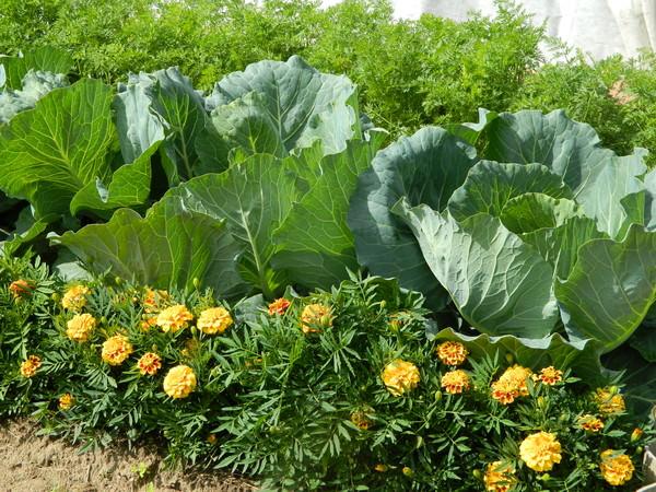 Бархатцы – это лучшие цветы для посадки с капустой