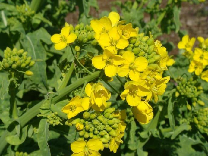 Чтобы в почве восполнились питательные вещества, необходимо высадить сидераты