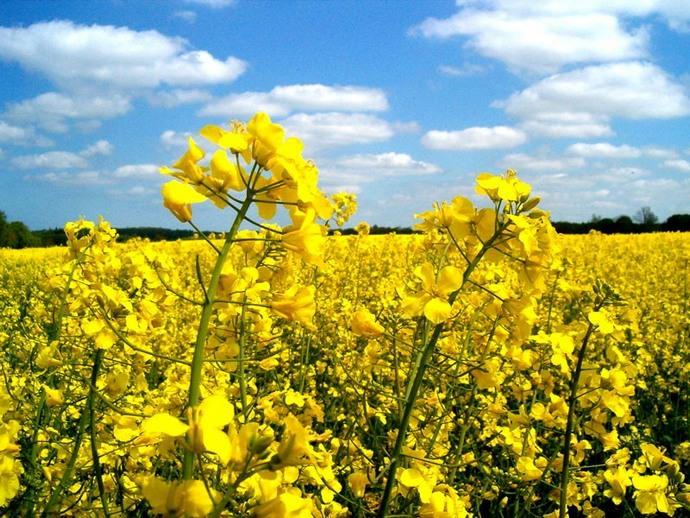 Сидеральный рапс способен успешно подавлять рост сорной растительности
