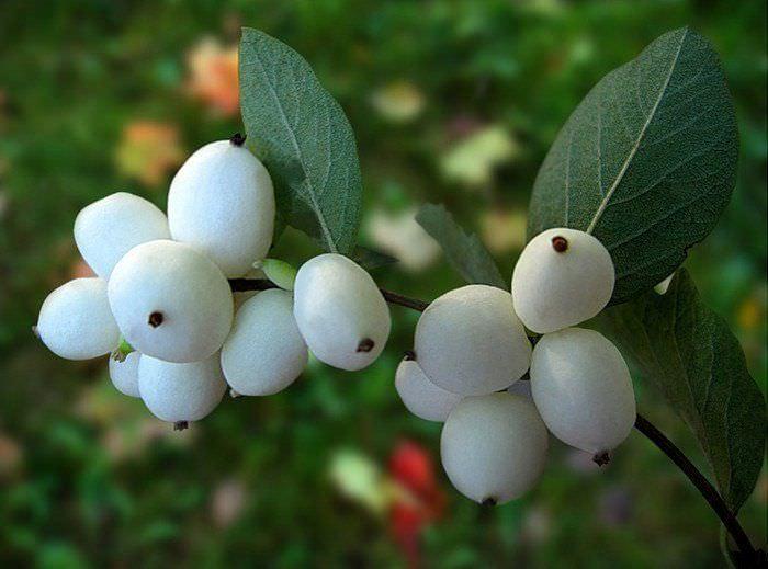 Снежноягодник белый (кистистый)