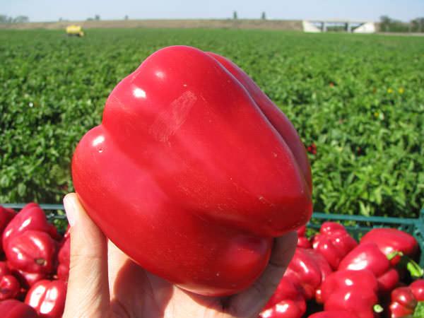 Сладкий перчик Белозёрка отличается высокой урожайностью и хорошо переносит транспортировку и хранение