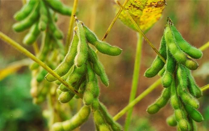 Соя относится к семейству бобовых, а внешне она похожа на фасоль