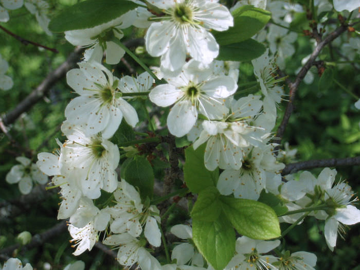 Белые цветки тёрна можно увидеть в апреле или мае