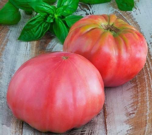 Вырастить достойный урожай томата на Урале можно даже в условиях открытого грунта