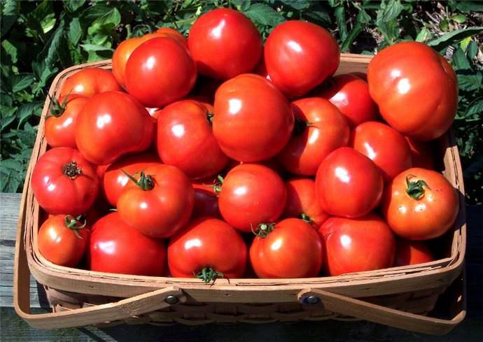 Ультраскороспелый Бони-М формирует урожай для употребления в свежем виде, а также пригодный для цельно-плодного консервирования