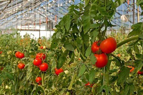 Опытные овощеводы высаживают помидоры в теплицу в Подмосковье