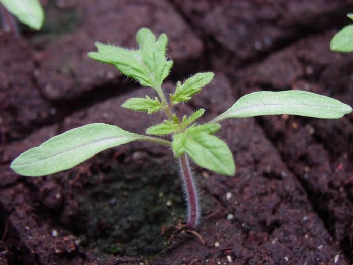 Важно создать оптимальную влажность томатной рассаде
