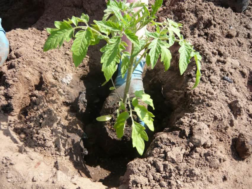 В возрасте полутора месяца помидорную рассаду нужно начинать высаживать на постоянное место выращивания