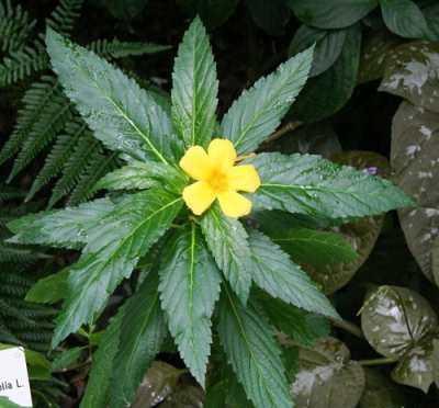 Трава Дамиана – растение с психоактивным действием и довольно сильный афродизиак