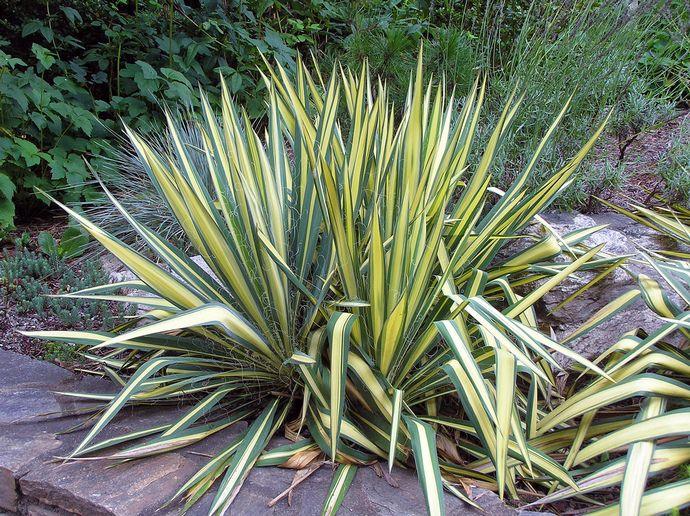 Вечнозеленая юкка происходит из пустынь Мексики и США