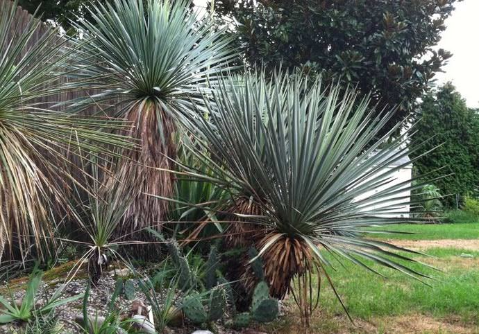 Юкка высокая (Yucca elata)