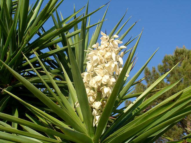 При необходимости добиться красивого и пышного цветения юкки, декоративную культуру необходимо вынести на хорошо освещаемый участок в саду или установить на солнечном балконе