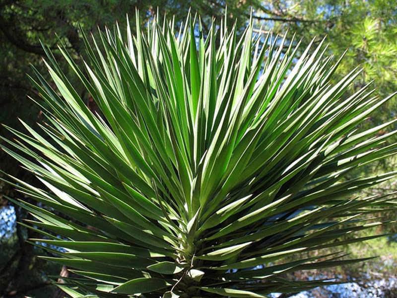 Юкка сизая является популярным вечнозеленым двухметровым растением, имеющим короткую стеблевую часть