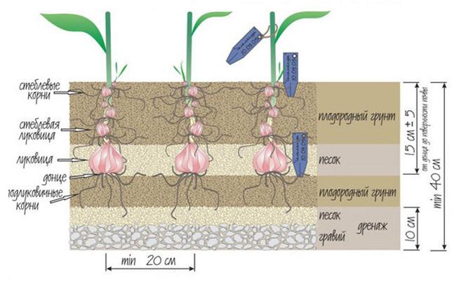 Глубина высадки луковиц определяется их размерами и плотностью почвы на участке