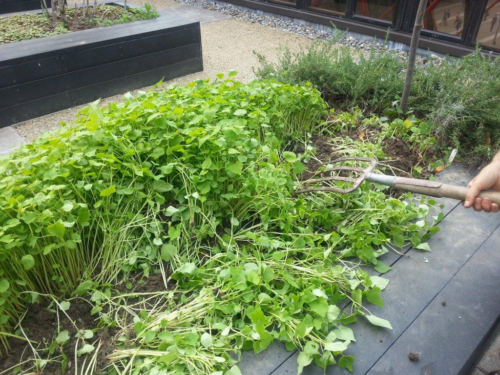 Сидераты – это растения, которые высевают с целью последующей заделки в почву