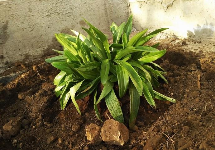 В осенний период лилии можно пересаживать