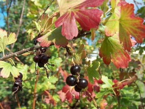 Важно в осенний период грамотно подготовить ягодные кусты к зиме