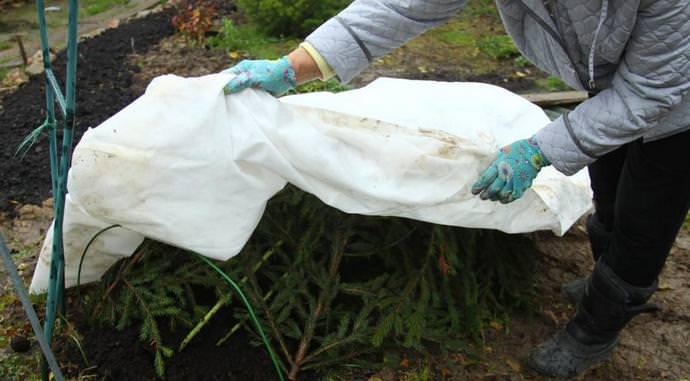 Правильная осенняя подготовка смородиновых кустов к зимовке поможет ягодному растению не только не замерзнуть, но и позволяет сохранить ветви от разлома