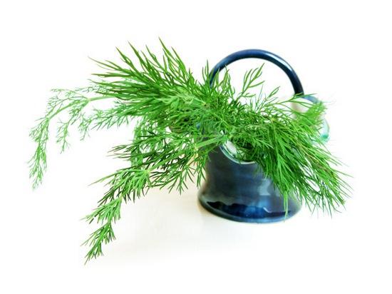 Укроп используется в виде пряной приправы или как лекарственное
