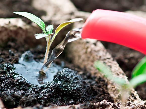 В процессе выращивания рассады томатов в домашних условиях, полив растений очень слабым раствором на основе йода позволяет получить более крепкие саженцы