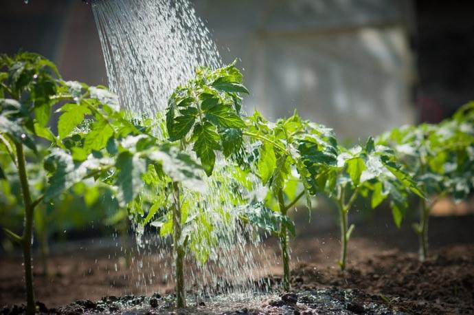 Поливать помидоры на разных стадиях роста и развития нужно с разной степенью интенсивности