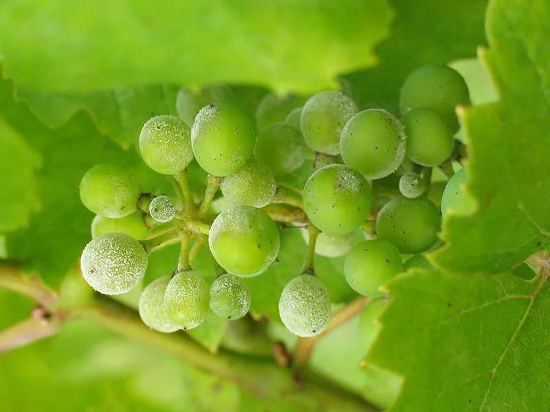 Чаще всего виноград поражается мучнистой росой и другими грибковыми инфекциями, что угрожает потерей урожая