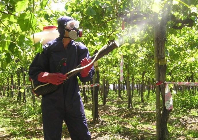 Виноград, поражённый вредными насекомыми, следует опрыскивать, начиная с нижней части растения, наводя струя на сосредоточение паразитов, а против грибка эффективна равномерная обработк