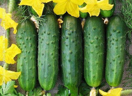 На огородах или дачах одним из самых распространенных овощей считается огурец
