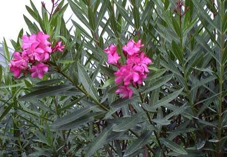 Олеандр — это вечнозелёный ветвящийся кустарник