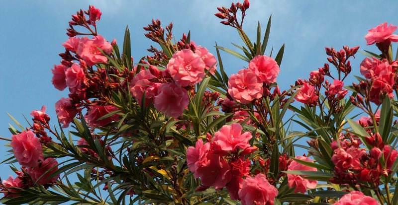 Олеандр чувствителен к застою воздуха, поэтому помещение необходимо часто проветривать, не допуская попадания на растение холодных порывов ветра
