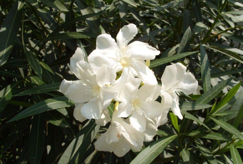 Олеандр — это крепкое растение, однако в исключительных случаях его атакуют вредные насекомые