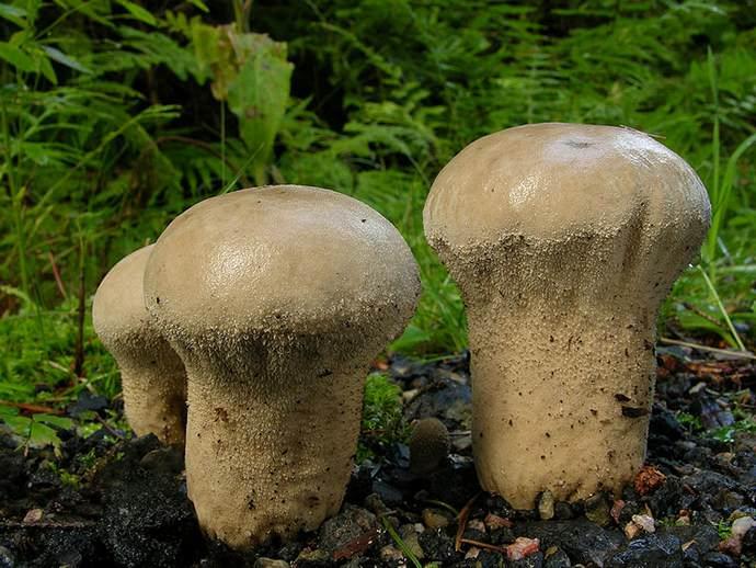 Плодовое тело головача продолговатого имеет форму булавы