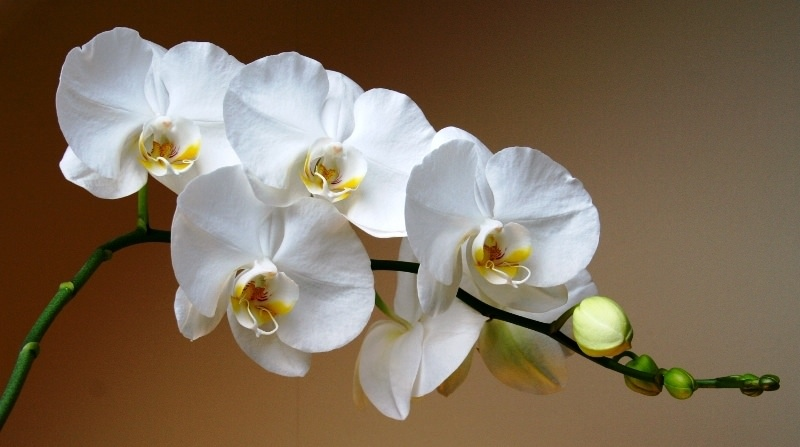 Название род получил из-за цветов, которые очень похожи на ярких прекрасных бабочек