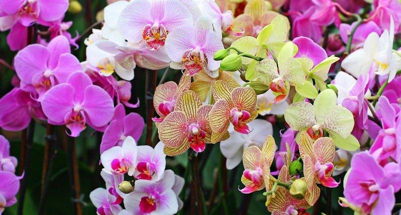 Отличительные особенности этого вида - в многоцветных листьях и большом количестве расцветок в одном цветоносе