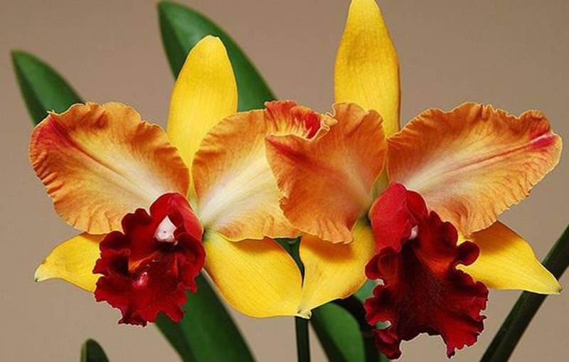 Орхидея Каттлея является популярной для выращивания в комнатных условиях