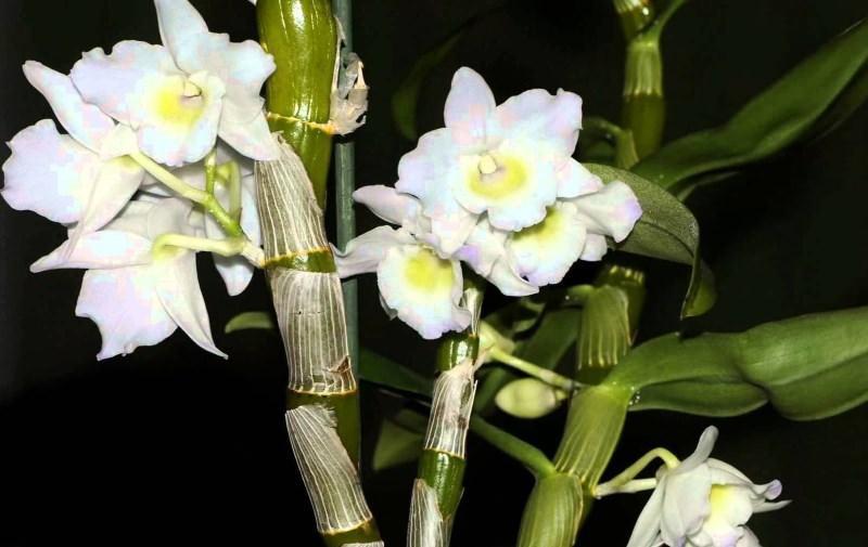 Называть род так стали благодаря шведскому ботанику Олафу Шварцу