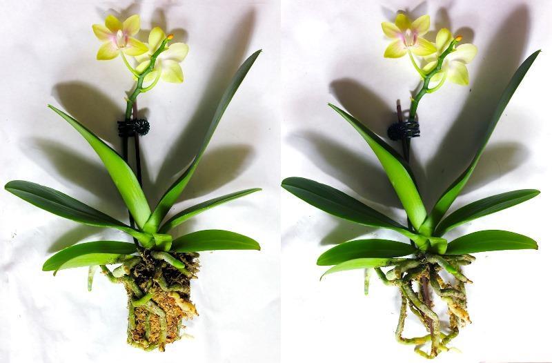 Не дайте растению засохнуть, ведь реанимация цветка возможна даже в том случае, если у орхидеи не только сгнили корни, но и отделились все точки роста