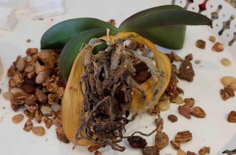 Реанимируемый цветок помещают в сосуд и ежедневно наполняют его чистой водой таким образом, чтобы она покрывала лишь нижнюю часть корней и не смачивала листья. В таком состоянии орхидея находится до 6 часов
