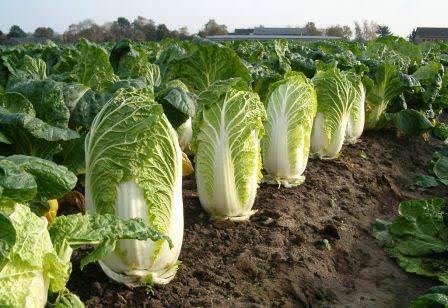 Зная основные секреты выращивания пекинской капусты, можно собрать собственный урожай