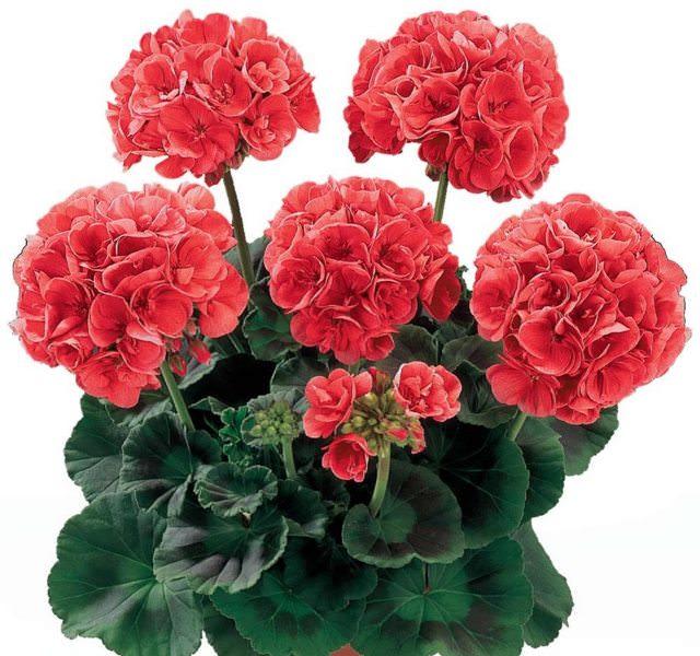 Комнатный цветок не нуждается в частой пересадке