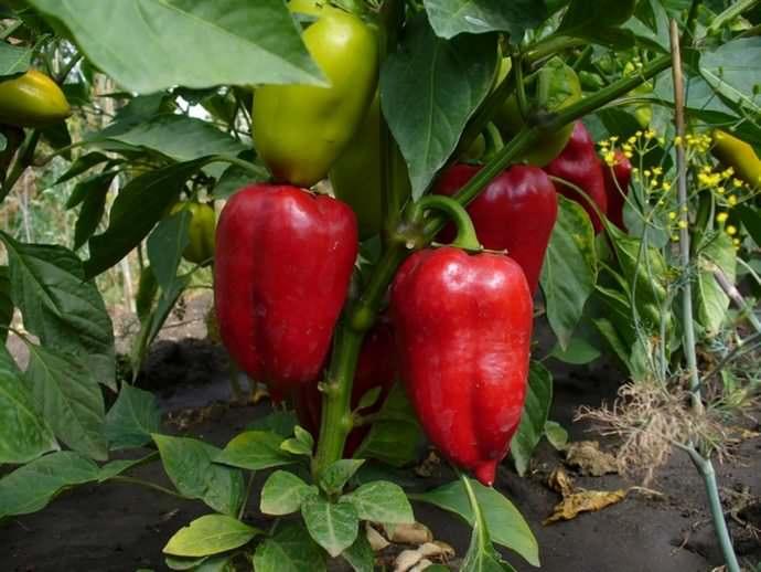 Опытные овощеводы не теряют возможности воспользоваться первыми весенними деньками