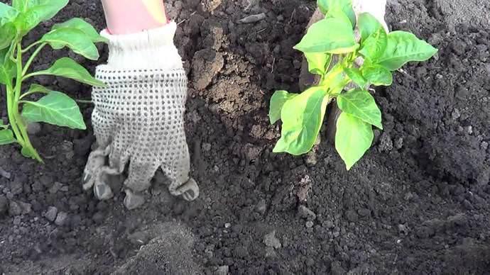 Правильная подготовка грунта под будущий урожай перца является одной из главных задач садовода